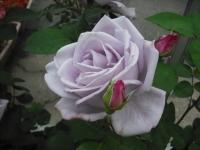 2017-06-11花巻温泉のバラ園057
