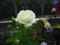 2017-06-11花巻温泉のバラ園059