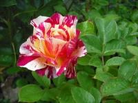 2017-06-11花巻温泉のバラ園070