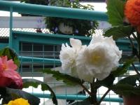 花と泉の公園2017-05-14ベゴニア館173