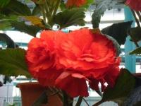 花と泉の公園2017-05-14ベゴニア館172