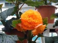 花と泉の公園2017-05-14ベゴニア館171