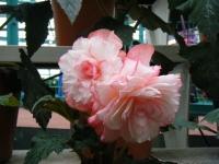花と泉の公園2017-05-14ベゴニア館170