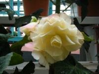 花と泉の公園2017-05-14ベゴニア館169