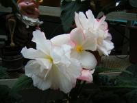 花と泉の公園2017-05-14ベゴニア館180