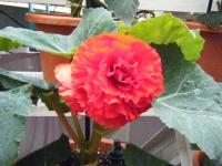 花と泉の公園2017-05-14ベゴニア館177