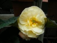 花と泉の公園2017-05-14ベゴニア館176