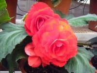 花と泉の公園2017-05-14ベゴニア館175