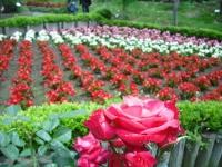 2017-06-11花巻温泉のバラ園073