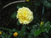 2017-06-11花巻温泉のバラ園084