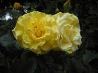 2017-06-11花巻温泉のバラ園083