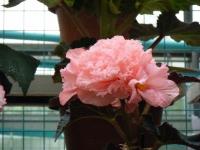 花と泉の公園2017-05-14ベゴニア館186