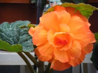 花と泉の公園2017-05-14ベゴニア館185
