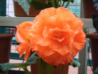 花と泉の公園2017-05-14ベゴニア館184