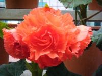 花と泉の公園2017-05-14ベゴニア館182