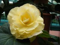 花と泉の公園2017-05-14ベゴニア館181