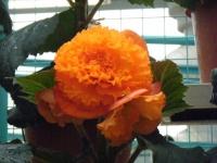 花と泉の公園2017-05-14ベゴニア館192