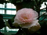 花と泉の公園2017-05-14ベゴニア館191