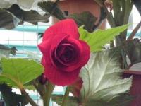 花と泉の公園2017-05-14ベゴニア館190