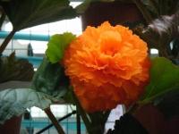花と泉の公園2017-05-14ベゴニア館189