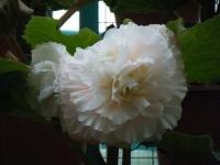 花と泉の公園2017-05-14ベゴニア館188