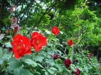 2017-06-11花巻温泉のバラ園088