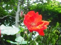 2017-06-11花巻温泉のバラ園087