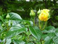 2017-06-11花巻温泉のバラ園086
