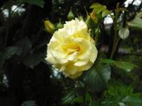 2017-06-11花巻温泉のバラ園085