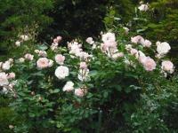 2017-06-11花巻温泉のバラ園094