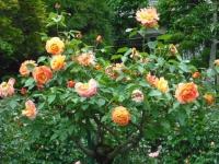 2017-06-11花巻温泉のバラ園093