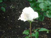 2017-06-11花巻温泉のバラ園095
