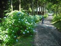2017-07-08一関市舞川みちのくあじさい園002