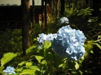 2017-07-08一関市舞川みちのくあじさい園012