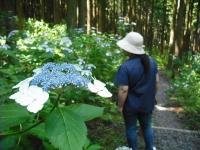 2017-07-08一関市舞川みちのくあじさい園015