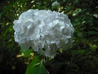 2017-07-08一関市舞川みちのくあじさい園033