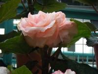 花と泉の公園2017-05-14ベゴニア館197