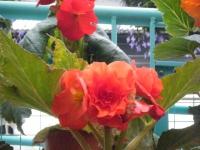 花と泉の公園2017-05-14ベゴニア館196