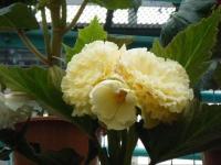 花と泉の公園2017-05-14ベゴニア館195
