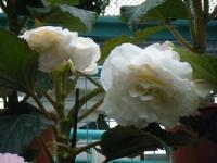 花と泉の公園2017-05-14ベゴニア館194