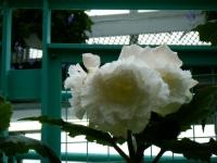 花と泉の公園2017-05-14ベゴニア館193