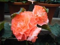 花と泉の公園2017-05-14ベゴニア館205