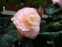 花と泉の公園2017-05-14ベゴニア館201