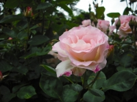 2017-06-11花巻温泉のバラ園102