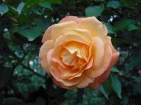2017-06-11花巻温泉のバラ園101