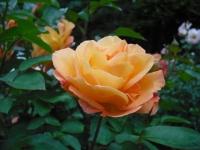2017-06-11花巻温泉のバラ園100