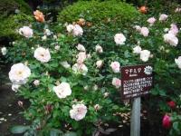 2017-06-11花巻温泉のバラ園108