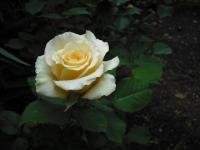 2017-06-11花巻温泉のバラ園106