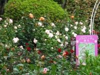 2017-06-11花巻温泉のバラ園105