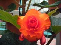 花と泉の公園2017-05-14ベゴニア館210